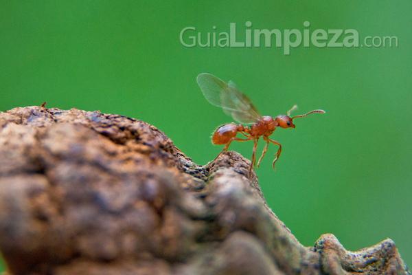 Las hormigas voladoras